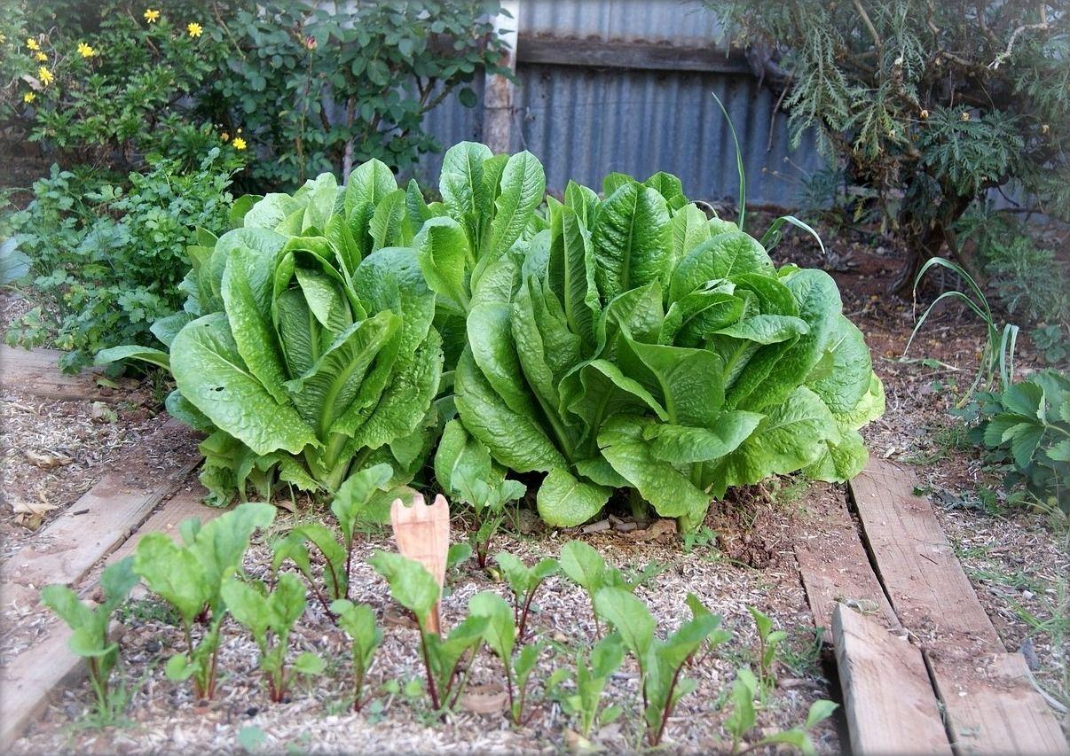 Garden Plan for Vegetables that Grow in Partial Shade | ◽ GARDEN