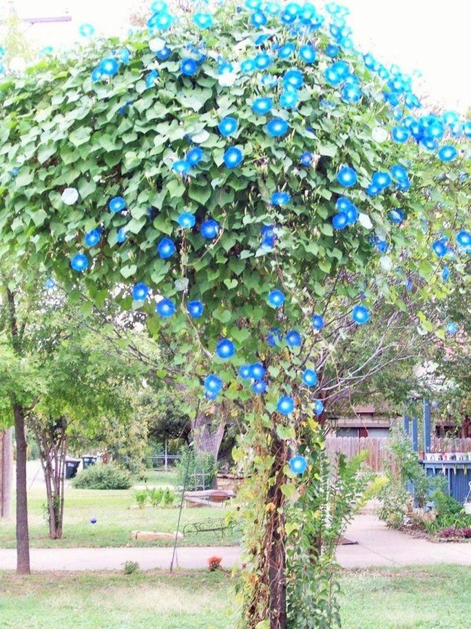 April S Full Morning Glory Flowers Garden Vines Flowering Vines