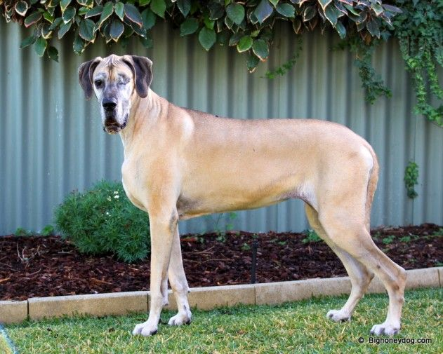 Big Honey Dog Great Dane Blog Dog Training Raw Diet Clicker