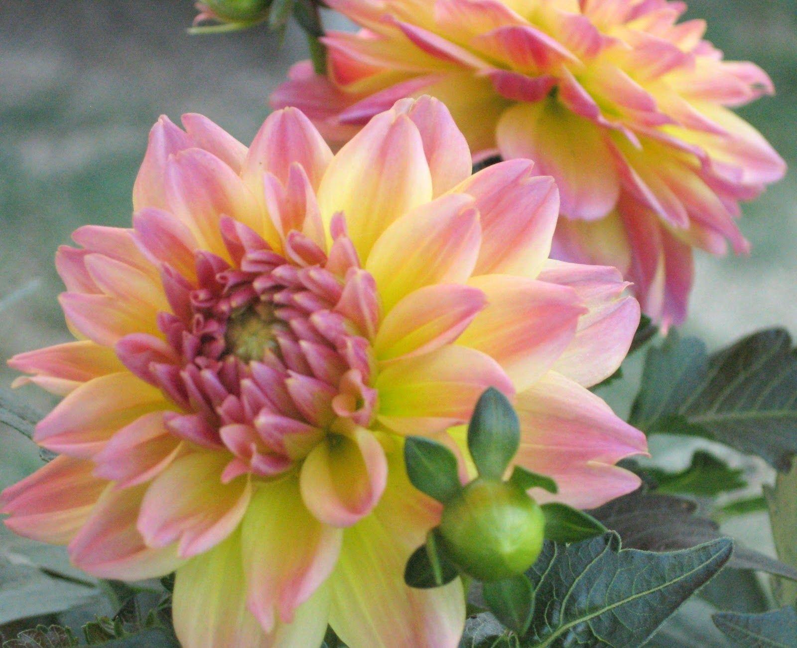 Pin by jill monson on beautiful flowers pinterest beautiful flowers beautiful flowers izmirmasajfo