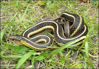 Animal A Day Butler S Garter Snake Garter Snake Snake Butler