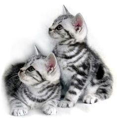 American Shorthair Tabby Kitten Google Search With Images