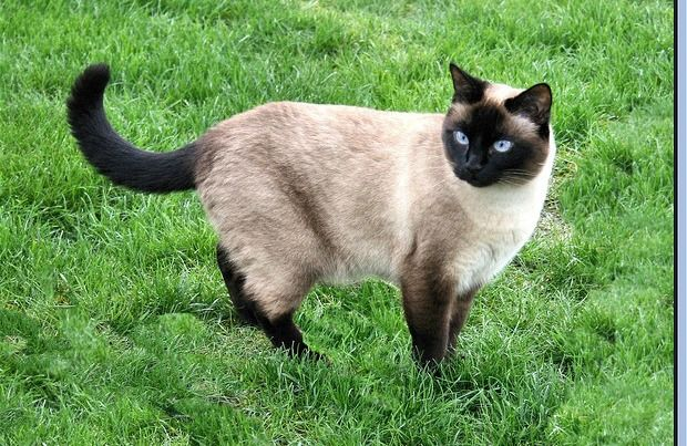 In 1885 Gould S Uk Cats Pho And Mia Produced Three Siamese