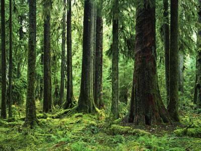 Best V*Rg*N Sitka Spruce Hoh Rain Forest Olympic National 640 x 480