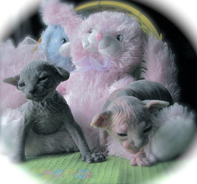 Easter Sphynx Kittens With Images Sphynx Kittens Sphynx Cat