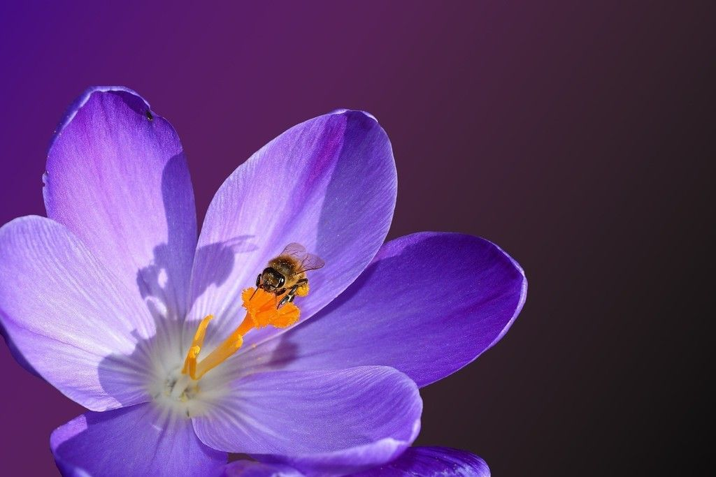 Crocus flower, bloom, bee, insect, close up wallpaper