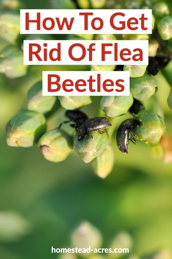 6fb4f0b78011f0d3009af11dd5014740 - How To Get Rid Of Flea Beetles On Potato Plants
