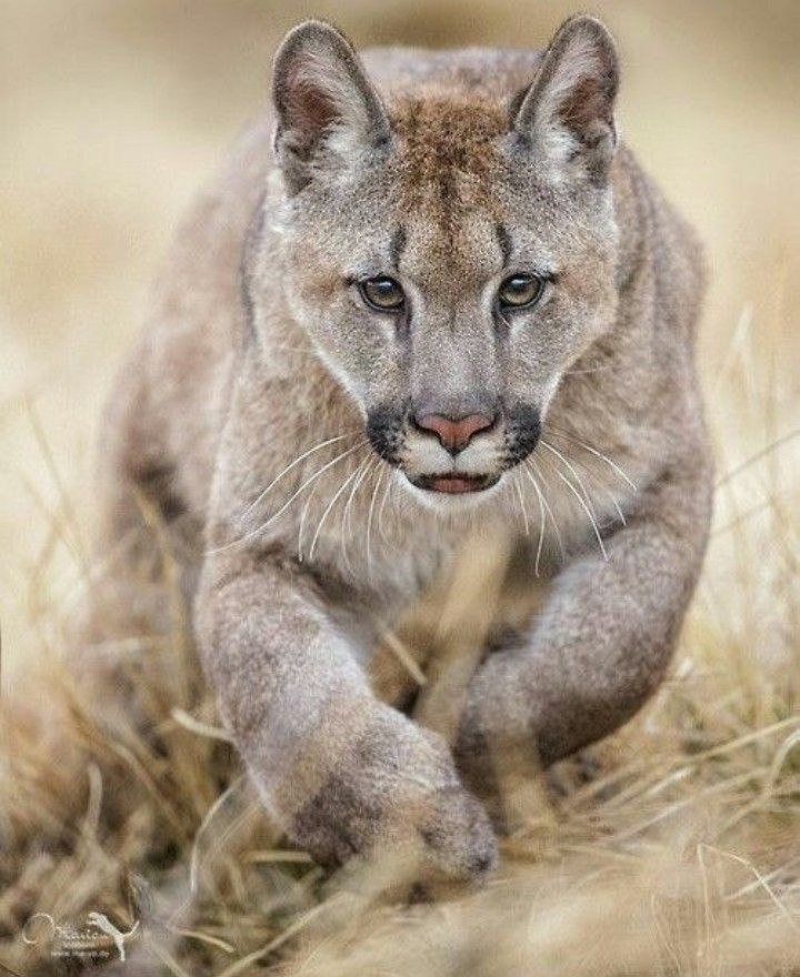 Gorgeous big cat...that face