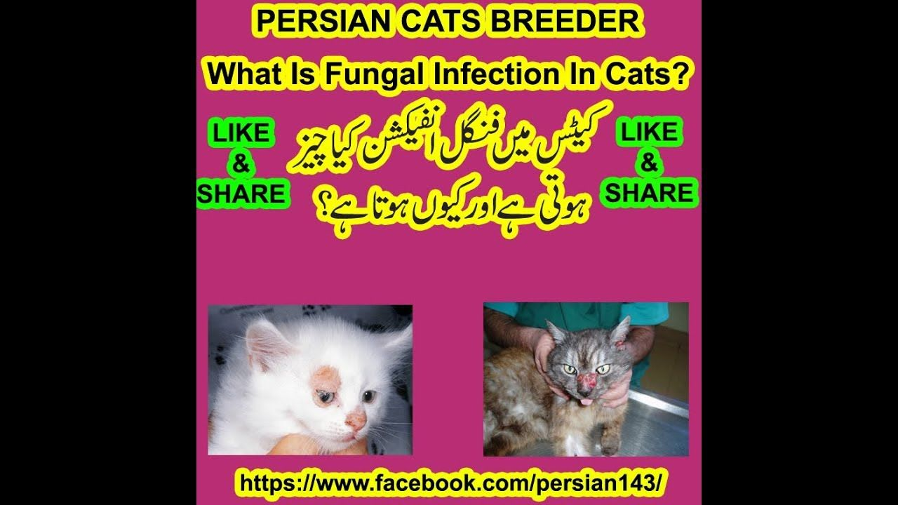 What Is Fungal Infection In Cats Persian Cat Breeders Cat