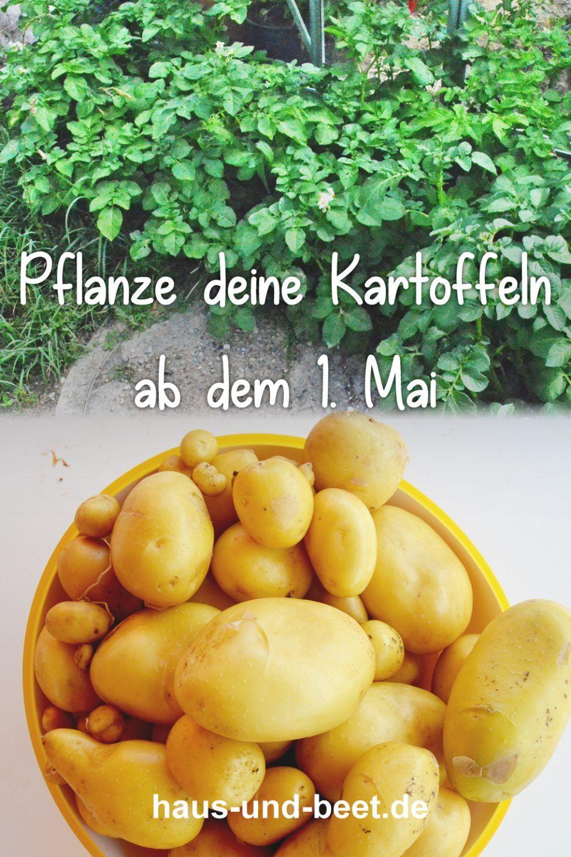 Kartoffeln pflanzen – So gelingt dir eine reiche Ernte - Haus und Beet