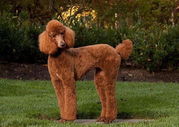 Poodles One Adorable Dog In Many Convenient Sizes Poodles