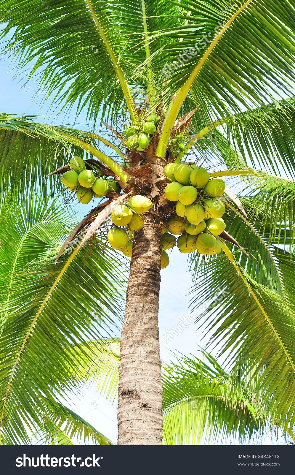 Kokospalm, Coconut tree Growing vegetables, Nature, Flex