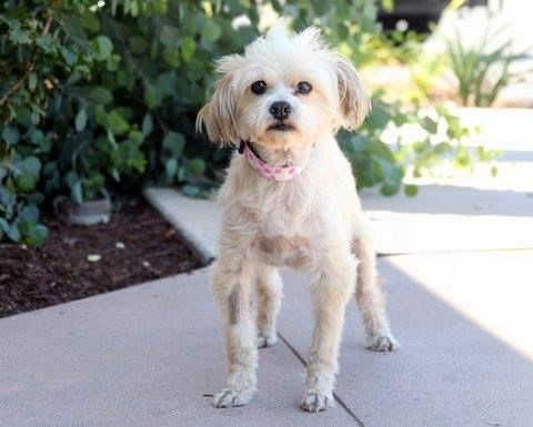 We are currently taking adoption applications on our sweet 11 yr old Shih Tzu girl, Peekaboo(Boo). Applications are available on our website, elderpawsrescue.org. Boo is very affectionate and loves to be with her human. Boo walks well on a leash and has medium energy level. Will you be her forever family?❤️She is located in Fresno,Ca. Please call 559-261-5746 for more info.