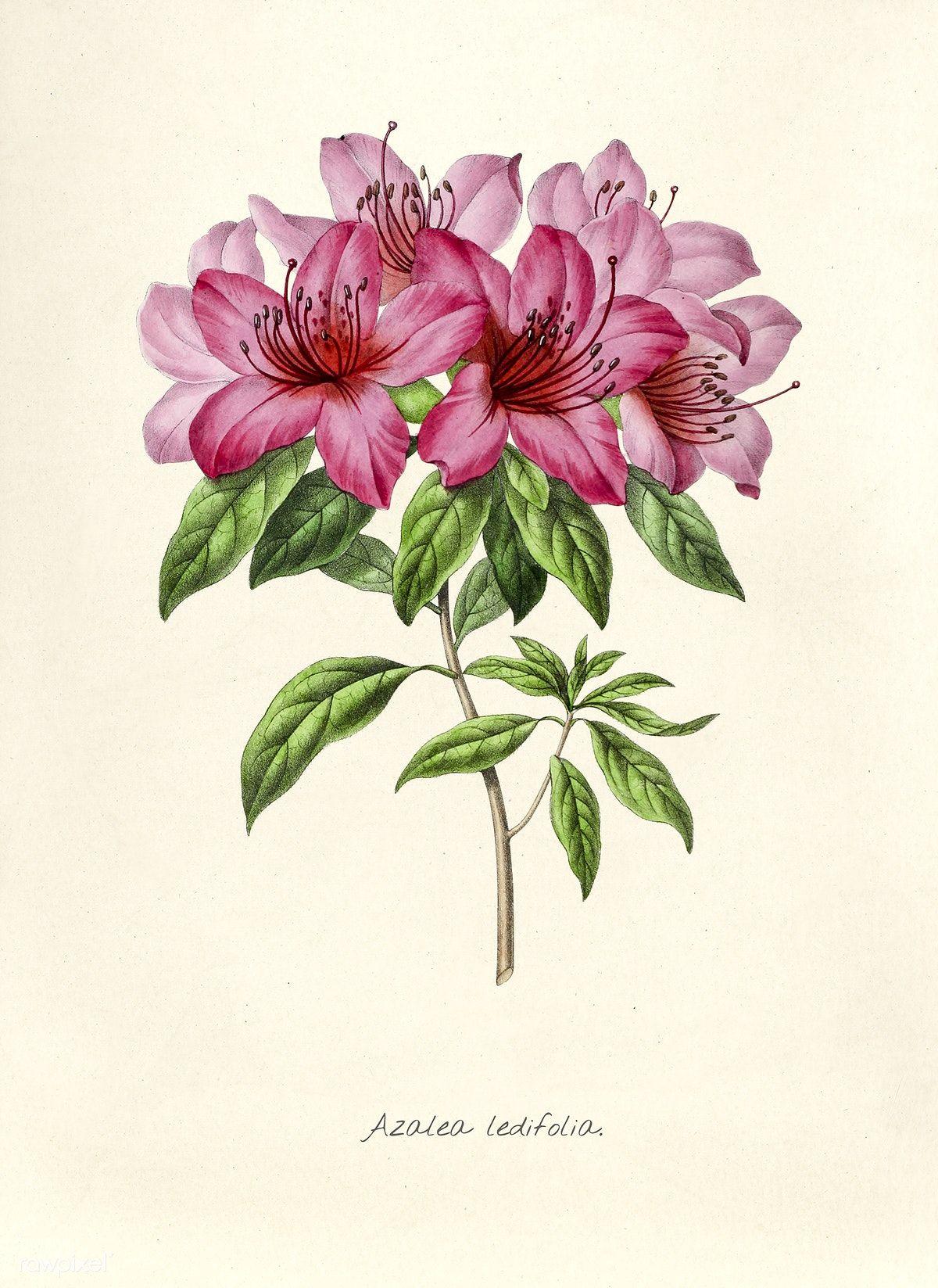 Antique Illustration Of Azalea Ledifolia Free Image By Rawpixel Com Vintage Flower Prints Azalea Flower Flower Wall Art