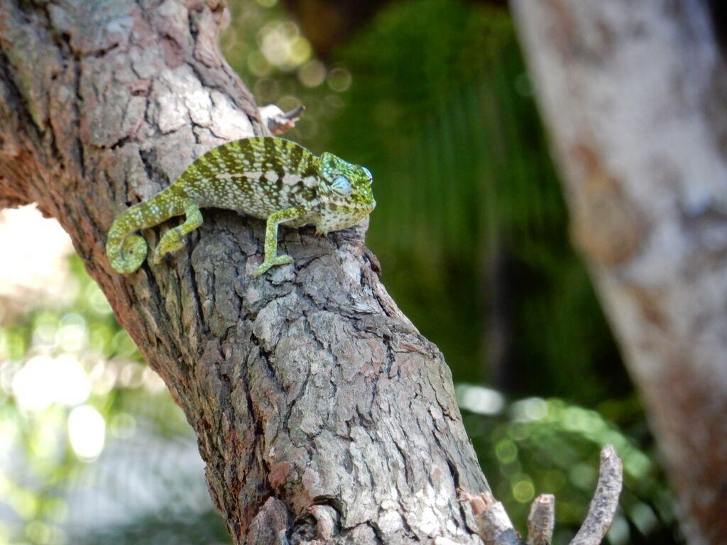 Madagascar, Chameleon