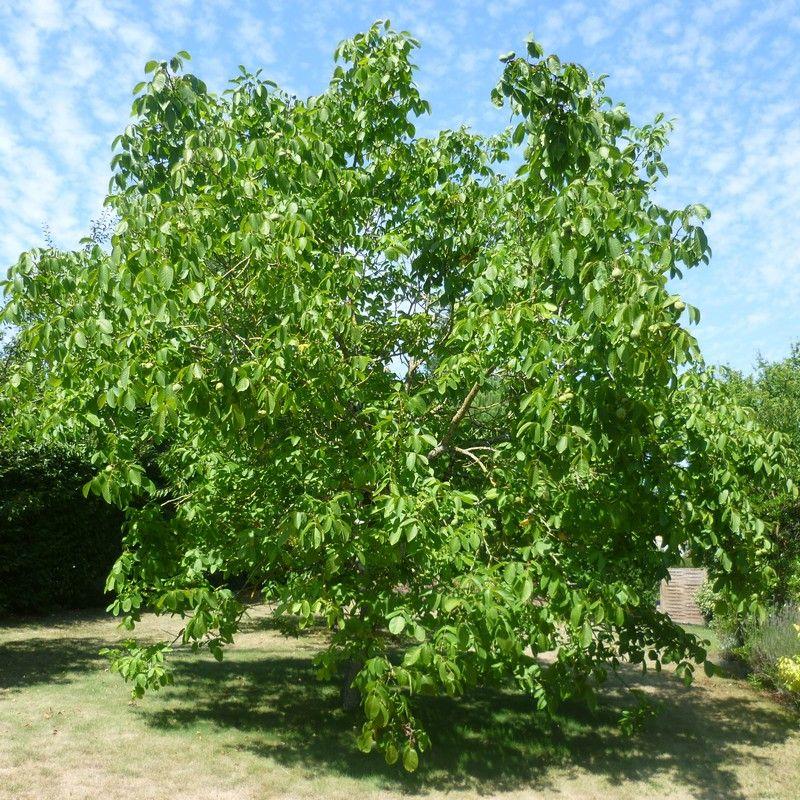 le juglans regia est un arbre fruitier de haut jet arbres et arbustes pinterest arbres. Black Bedroom Furniture Sets. Home Design Ideas