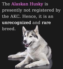 Unimaginably Stupefying Facts About The Alaskan Husky Alaskan