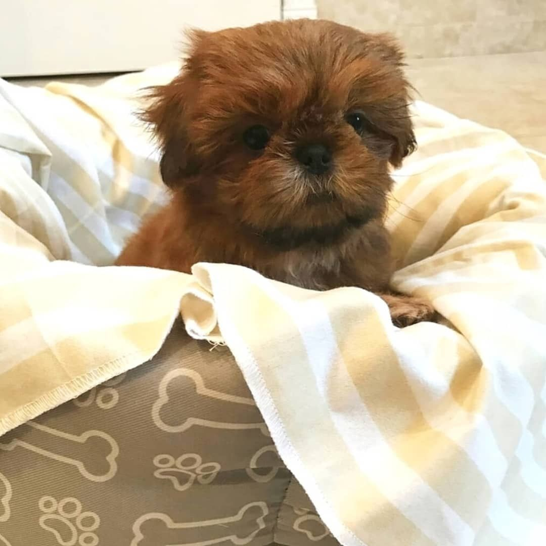 New The 10 Best Home Decor With Pictures Pure Breed Shihtzu