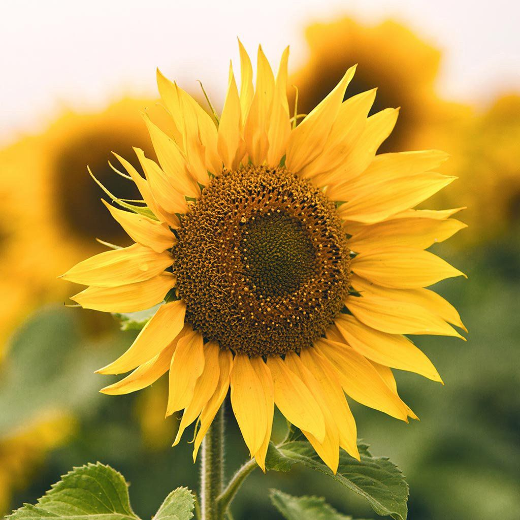 Sunflower uses of sunflower organic ingredients organic