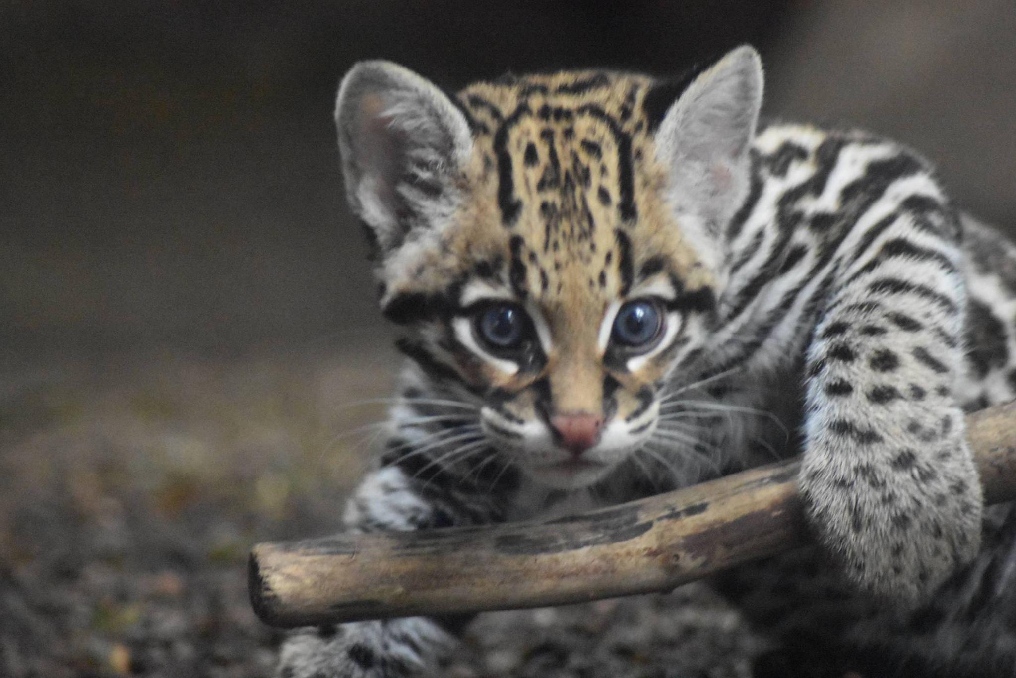 Ocelot Kitten Starts The New Week With A New Name Cute Animals Wild Cats Newborn Animals