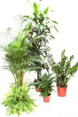 Plants That Clean The Air Bosten Fern Areca Palm Zz