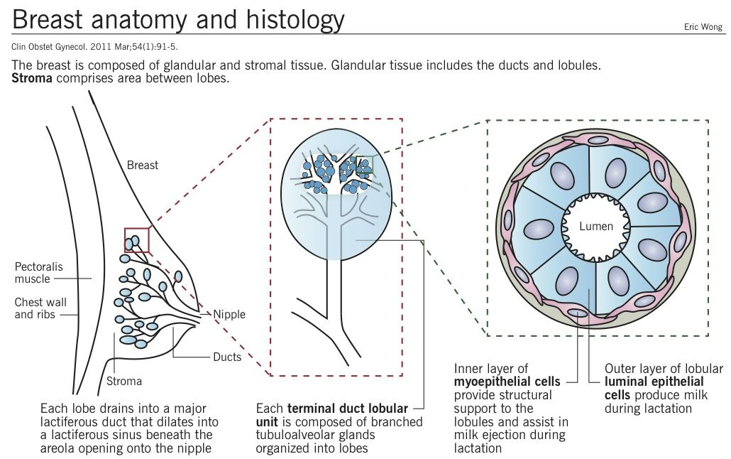 Breast Anatomy And Histology Repro Pinterest Med School