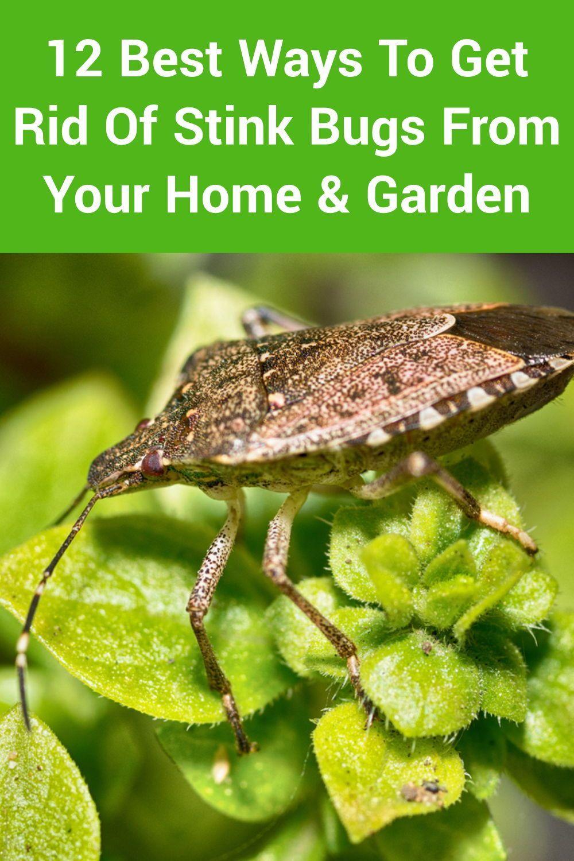 6fb8c98a612969df92a5eed6171d92c4 - How To Get Rid Of Stink Bugs At Home