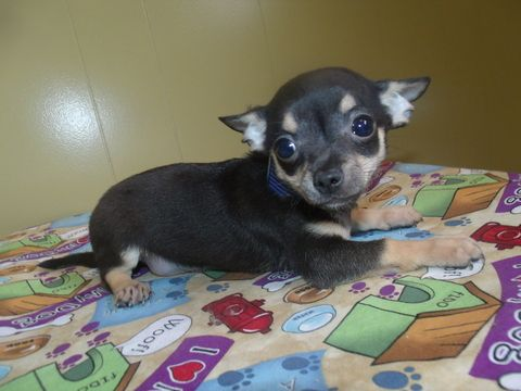 Chihuahua Puppy For Sale In Paterson Nj Adn 41175 On Puppyfinder Com Gender Male Age 11 Weeks Old Chihuahua Puppies Chihuahua Puppies For Sale Chihuahua