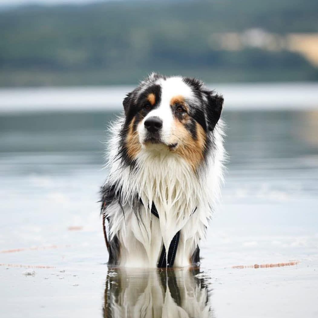 Handsome Wet Doggo Australian Shepherd Australian Shepherd Dogs Aussie Dogs