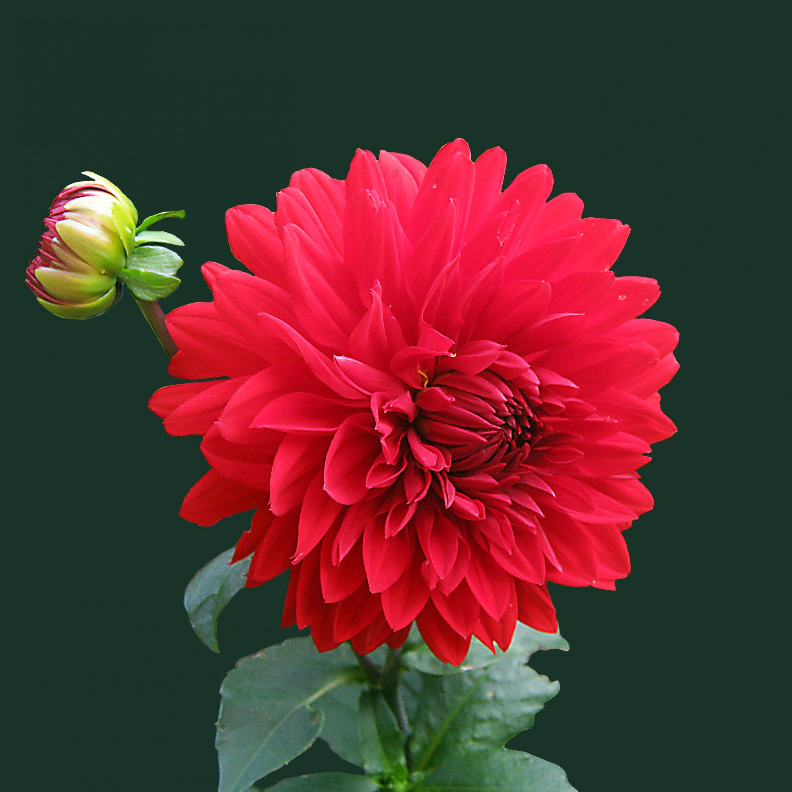 Dahlia red blossom tap to see more beautiful flowers wallpapers dahlia red blossom tap to see more beautiful flowers wallpapers mobile9 izmirmasajfo Images