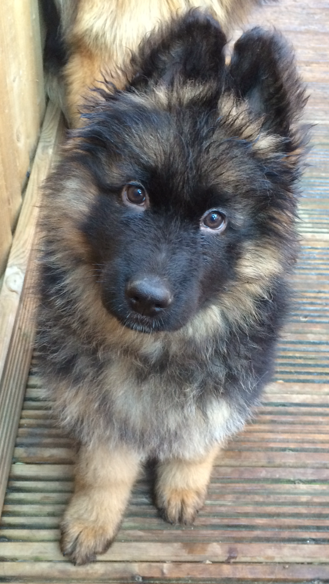 My King 9 Week Old Long Coat Puppy Uk Cute Dogs Breeds Dog