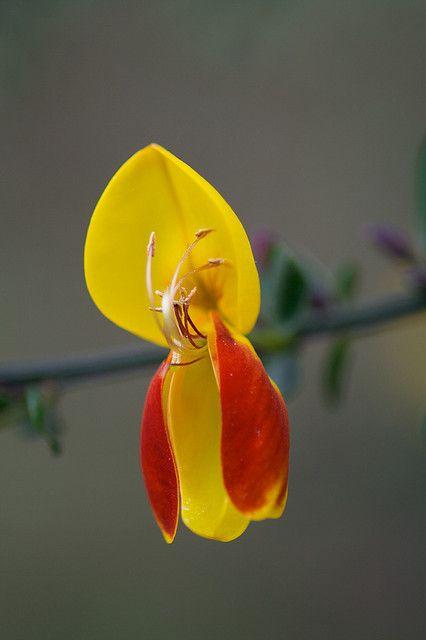 Beautiful Flower Called A Broom Flower Unusual Flowers Love Flowers Beautiful Flowers