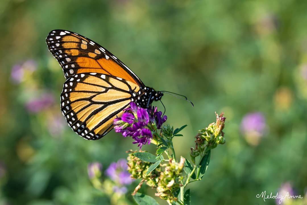 Monarch 🦋  Photo taken with a Canon Rebel T6i and an EF-S 60mm macro lens.   insect  pollinators  monarch  monarchbutterfly  migration  wings  flowers  alfalfa  hayfield  field  morninglight  light  bokeh  sunlight  wildlife  nature  spyderxpro  datacolorspyder  lightroom  teamcanon  canonusa  canonrebel  rebelt6i  macro  ourfotoworld  natgeoyourshot  canonfanphoto  canonfavpic
