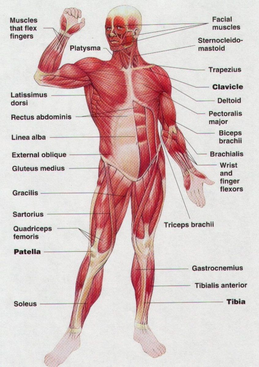 Simple Muscle Anatomy Simple Muscle Diagram For Kids Label The Major Muscles Human Muscle Anatomy Human Body Muscles Muscle Diagram