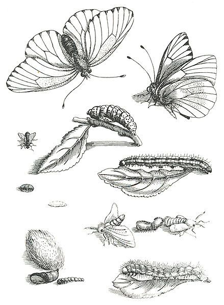 A page taken from Erucarum Ortus. This Day in History: Apr 02, 1647: Maria Sibylla Merian, German naturalist and scientific illustrator, is born http://dingeengoete.blogspot.com/