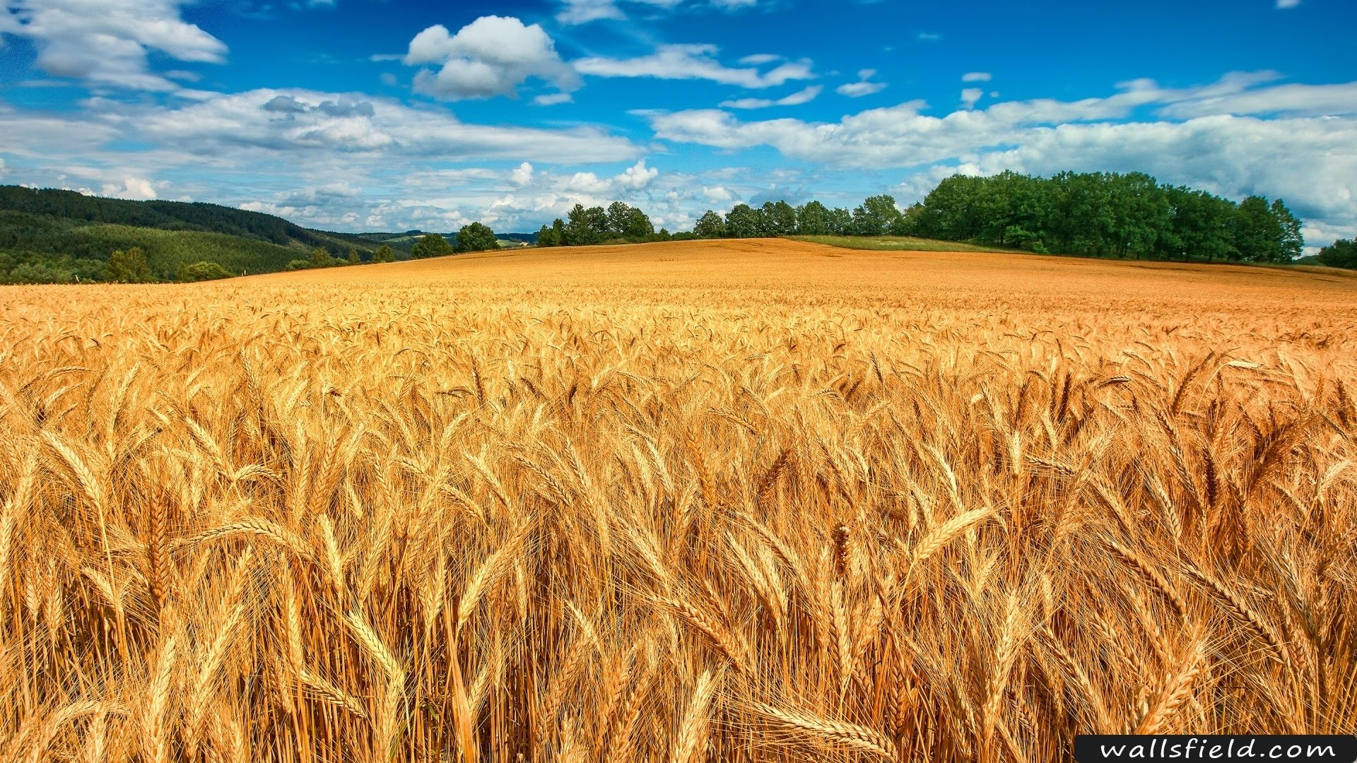 You Can View Download And Comment On Golden Wheat Field Free Hd Wallpapers For Your Desktop Backgrounds Mobile And Tablet In Different Resolutions