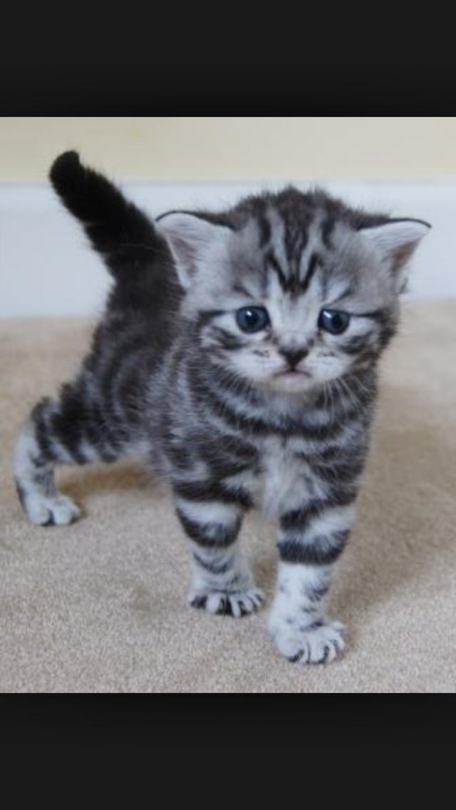 All Round Adorable Cats And Kittens Cats For Sale British Shorthair Cats