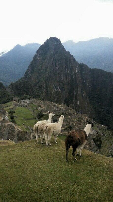 Machu Picchu - llhamas