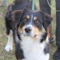 Adopt Blitz On Australian Shepherd Dogs Australian Shepherd Australian Shepherd Mix