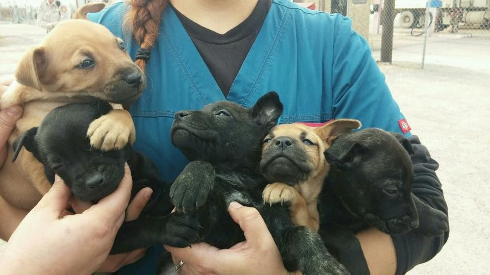 Urgent We Have 18 Lab Mix Puppies Being Surrendered With Their