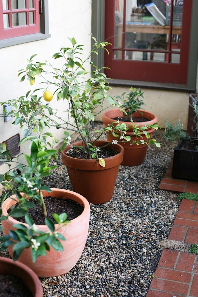 Potted Citrus Trees For The Backyard
