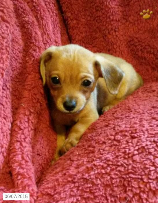 Chiweenie Puppy For Sale In Pennsylvania Chiweenie Puppies