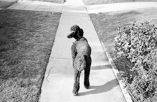 Bryan Formhals whisks us away to the palm-flanked streets of LA #poodle
