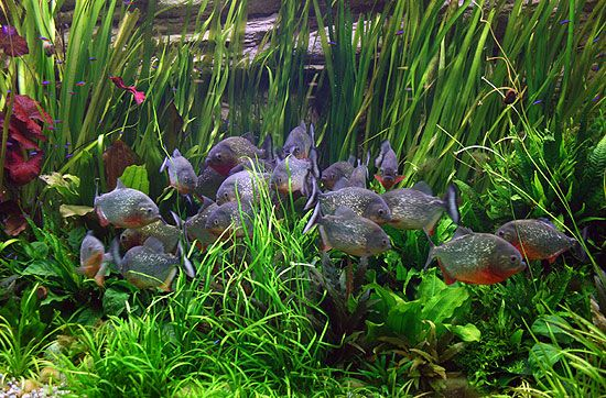 A School Of Red Bellied Piranha  Iu0027ve Rarely Seen These Fish.