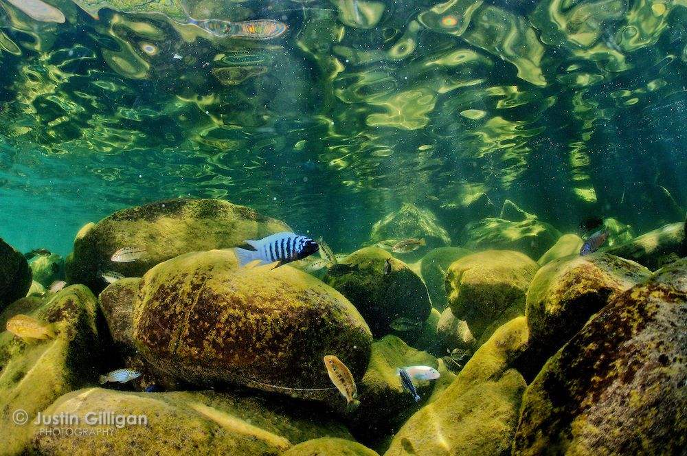 Cichlids in the shallows of the lake malawi national park for Lake malawi fish