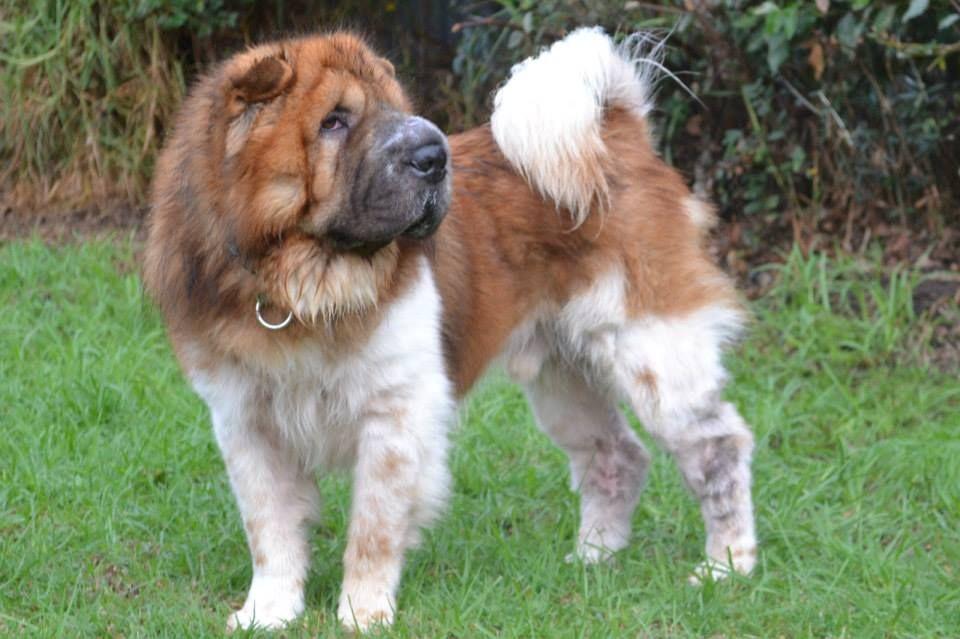 Tricolor Bear Coat Shar Pei Unique Dog Breeds Beautiful Dogs