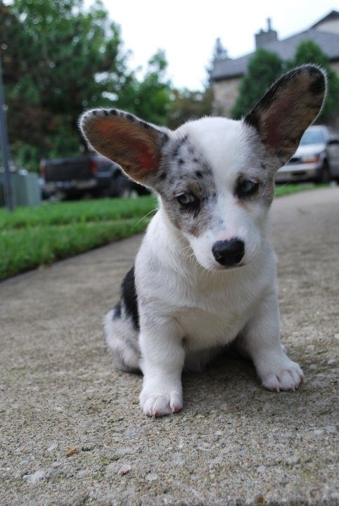 Ideas Of Cardigan Welsh Corgi Puppies Thedogpuppies Com Welsh Corgi Puppies Corgi Dog Cardigan Welsh Corgi Puppies