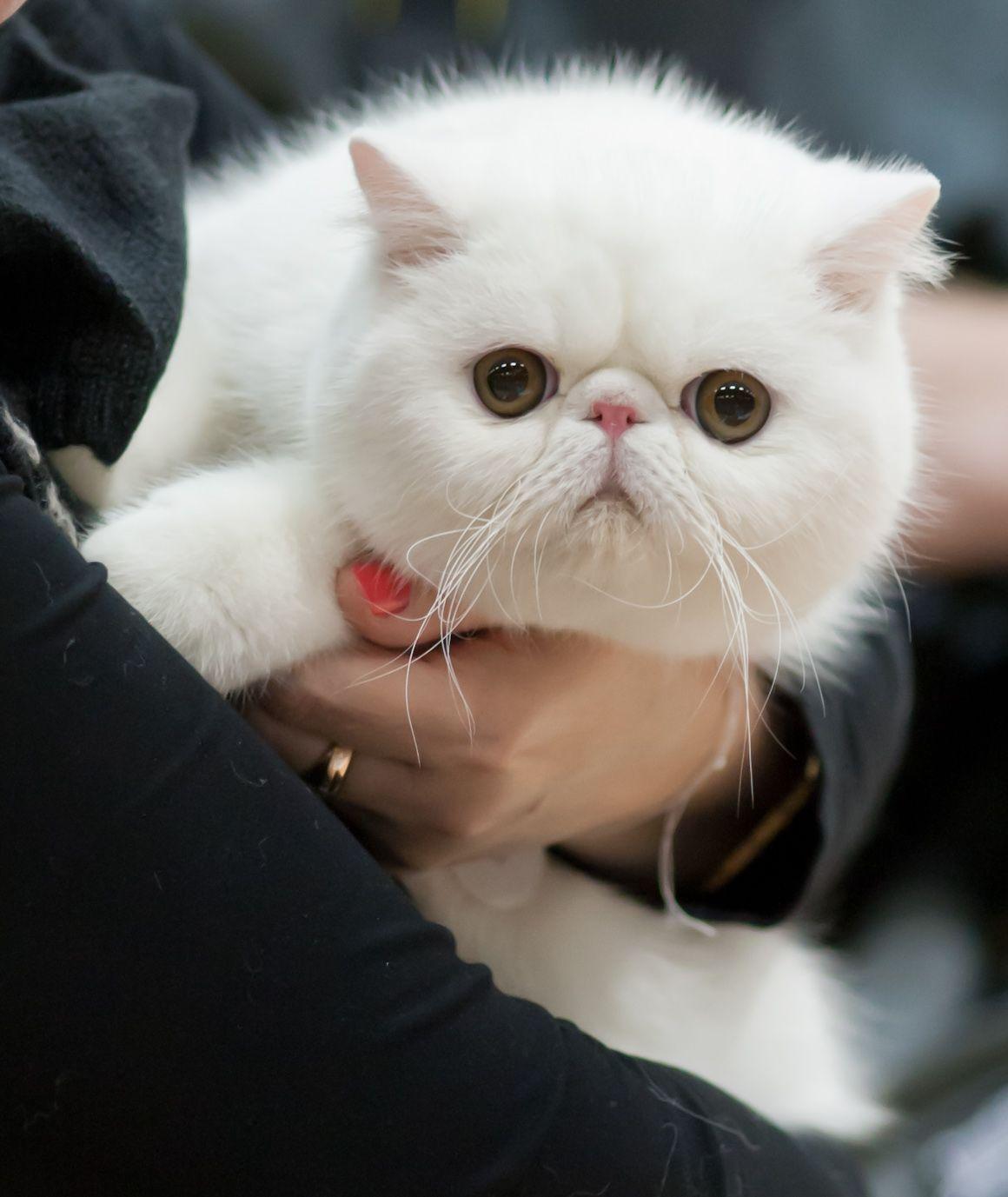 exotic shorthair Exotic shorthair cat, Exotic shorthair