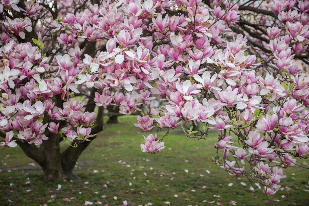 Magnolie Pflanzen Standort Zeitpunkt Plantura Magnolie Pflanzen Magnolienbaum Magnolien