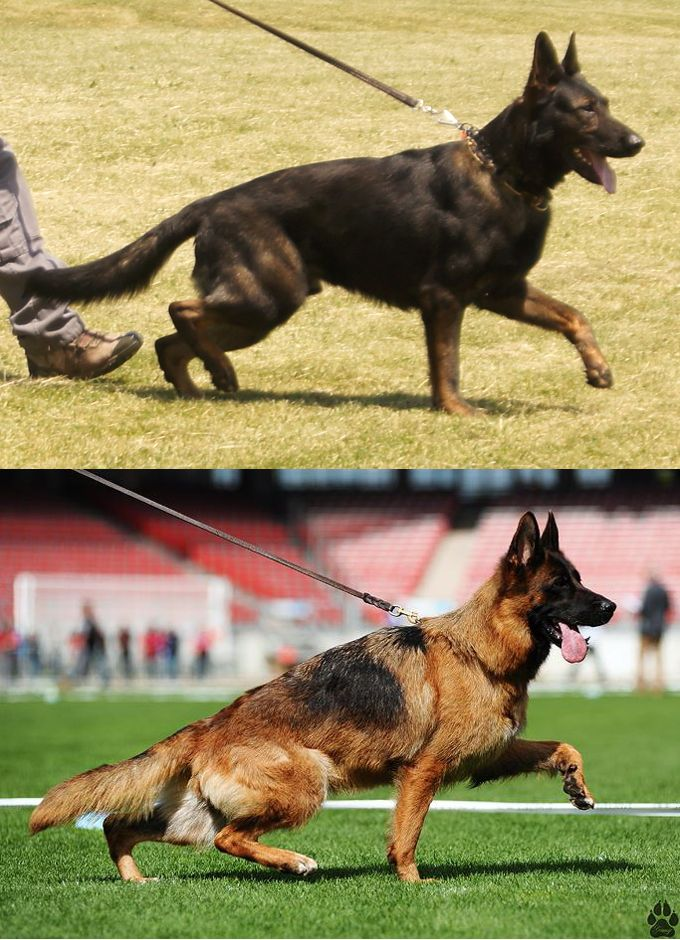 WORK VS SHOW GERMAN SHEPHERDS Purebred german shepherd